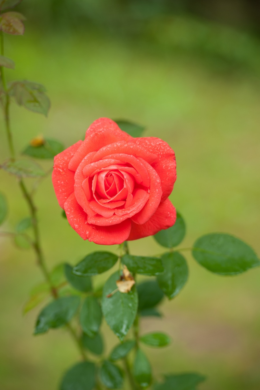 2013-09-15-rose-0005
